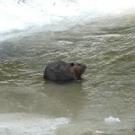 A Beaver in the West Duffins Creek